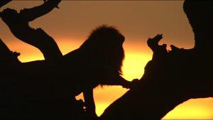 【画像】映画『劇場版 ダーウィンが来た! アフリカ新伝説』場面カット (夕日とライオン)