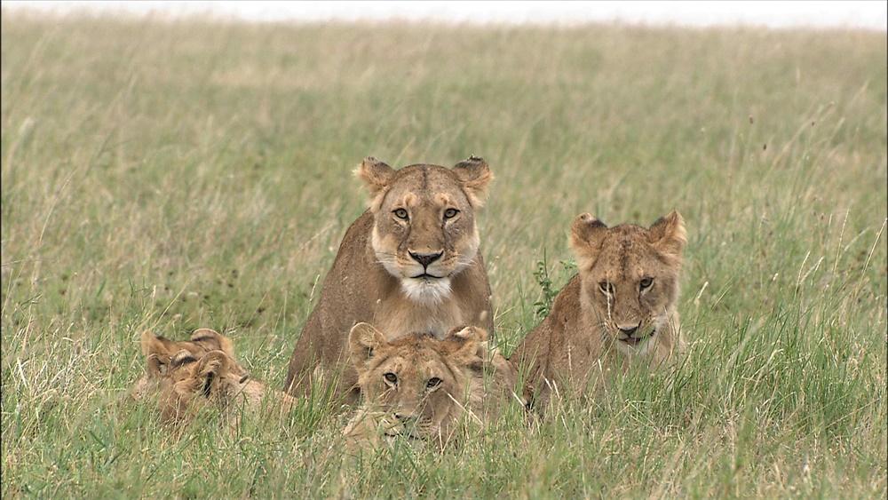 【画像】映画『劇場版 ダーウィンが来た! アフリカ新伝説』場面カット (ナイラと六頭の子どもたち)